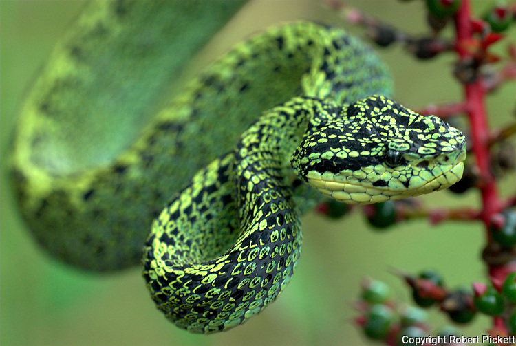 Black Speckled Palm Pitviper Snake, Bothriechis nigroviridis, venomous pitviper species Costa Rica, flexible, coiling tails are prehensile and aid them in their tree climbing lifestyle, arboreal, on red flowering plant, portrait