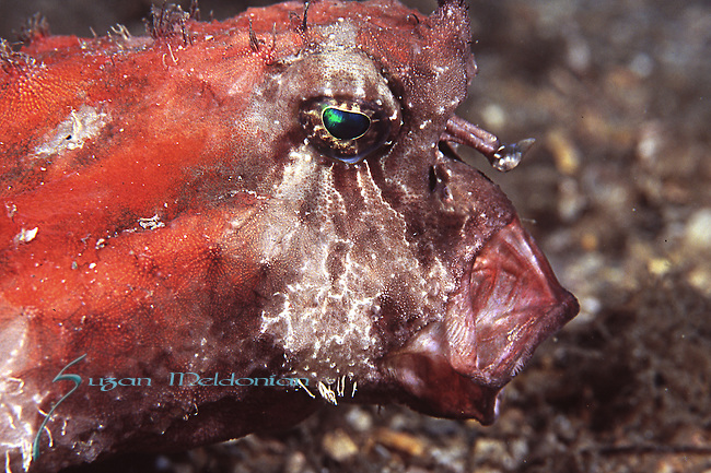 Shortnose Batfish Mouth Open-sideview, Ogcocephalus nasutus
