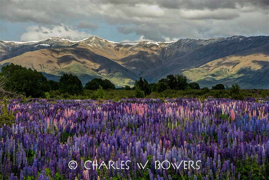 The lupines thrive in their meadow in the shadow of the Southern Alps on the South Island of New Zealand.<br /> <br /> -Limited Edtion of 50 Prints.