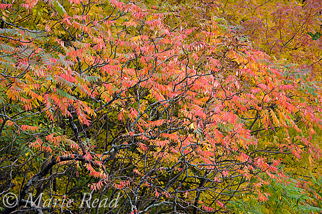 Staghorn Sumac (Rhus typhina) with colorful leaves in autumn, New York, USA