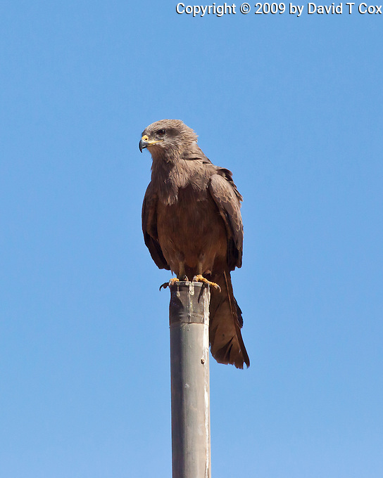 Black Kite, Normanton - Cloncurry road, Queensland, Australia