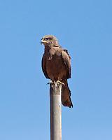 Black Kite, Normanton - Cloncurry road, Queensland, Australia