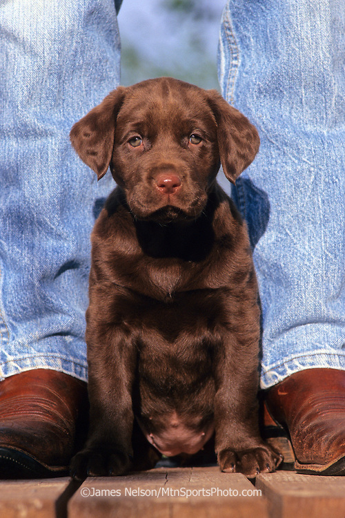 34-383. A chocolate Labrador retriever puppy sits at the feet of her master.