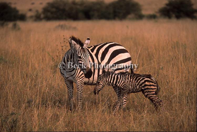 Young and old zebras