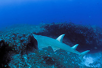 whitespotted shovelnose ray or guitarfish, Rhynchobatus djiddensis, Flat Rock, N. Stradbroke Island, near Brisbane, Queensland, Australia