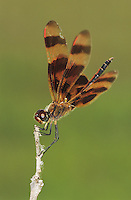 Halloween Pennant, Celithemis eponina, male, The Inn at Chachalaca Bend, Cameron County, Rio Grande Valley, Texas, USA, May 2004