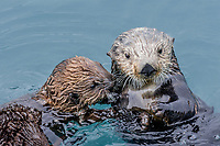 Sea Otter (Enhydra lutris) mom with pup.  Prince William Sound, Alaska.  Spring.