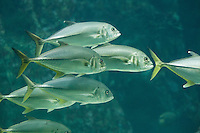 Großaugen-Stachelmakrele, Stachelmakrele, Caranx sexfasciatus, Carangoides sexfasciatus, bigeye trevally, Big-eye trevally, bigeye jack, great trevally, six-banded trevally, dusky jack