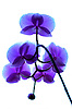 blue orchid 3