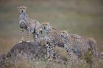 Cheetahs (Acinonyx jubatus) at termite mount, Maasai Mara, Kenya