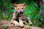 Grey wolf pup, Montana