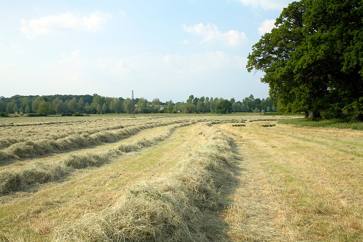 Summer meadow with cut hay ready for baling