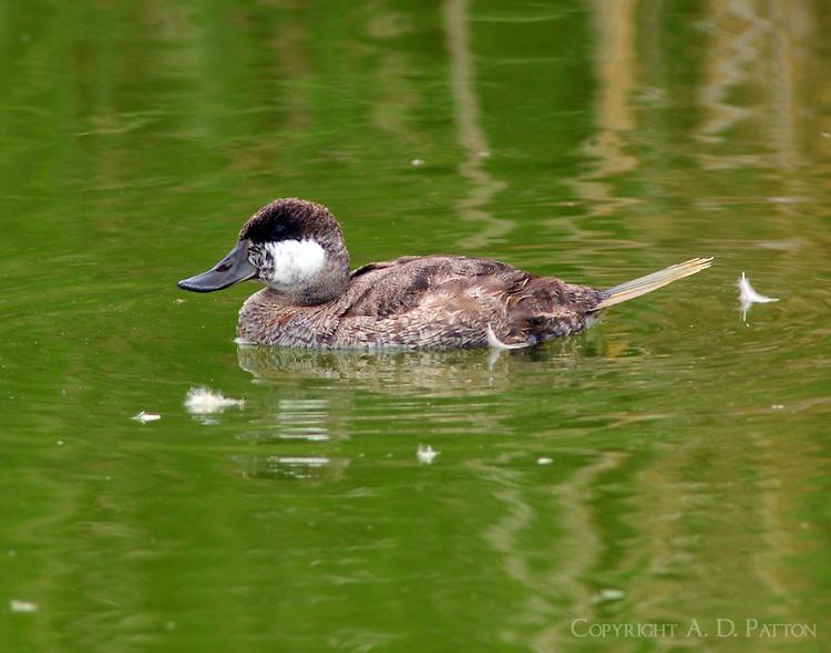 Female ruddy duck