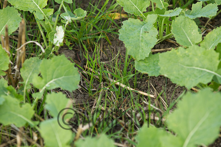 Black-grass in oilseed rape<br /> Picture Tim Scrivener 07850 303986<br /> tim@agriphoto.com<br /> &hellip;.covering agriculture in the UK&hellip;.