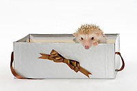 Two Four-toed Hedgehogs or African Pygmy Hedgehogs (Atelerix albiventris), looking out of a gift box