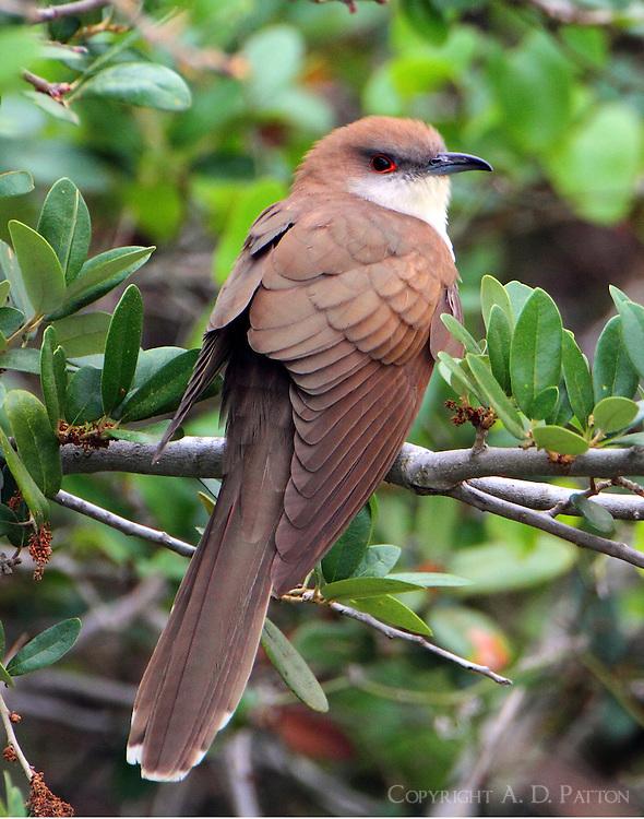Black-billed cuckoo adult in spring migration