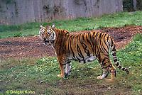 MA40-003z  Bengal Tiger - Panthera tigris