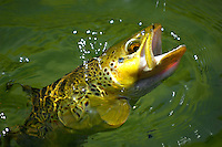Catch and release trout fishing Green river Utah. Brown trout with a black rs2 in his mouth.