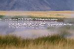 Lesser flamingos and hot springs at Lake Bogoria
