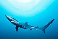 Blue Shark, Prionace glauca, full animal view with slow shutter speed movement and sunlight in the back and dark blue background, offshore, Cape Point, Cape Town, False Bay, South Africa, Atlantic Ocean, Indian Ocean