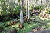 Hurricane Irma plowed through south Florida causing damage to the Arthur Marshall Loxahatchee Wildlife Refuge Cypress Swamp indicated by a fallen Cypress Tree.