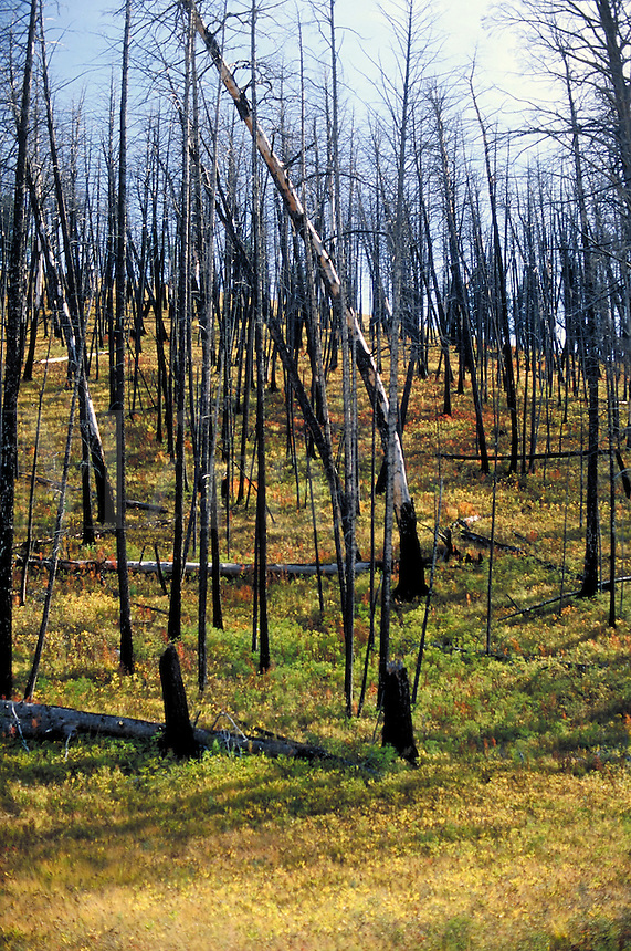 Fire damaged trees in Yellowstone National Park. 1988 fire damaged 793,880 park acres. This photo made in 1997. Yellowstone National Park Wyoming USA.