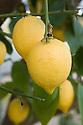 Lemons, glasshouse, late March.