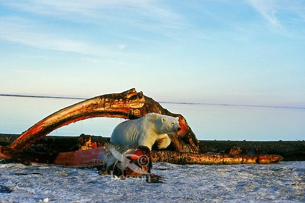 Polar Bear (Ursus maritimus) among remains of bowhead whale.  Alaska.  Oct.