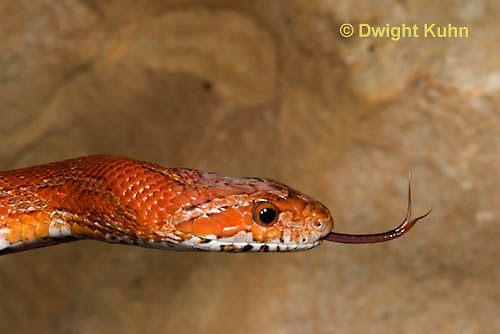 1R22-663z  Corn Snake, Banded Corn Snake, Elaphe guttata guttata or Pantherophis guttata guttata, close-up of head and flicking tongue