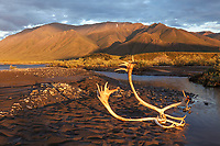 Caribou antlers in the golden light of the midnight sun on the Canning River, Arctic National Wildlife Refuge, Brooks range mountains, Alaska.