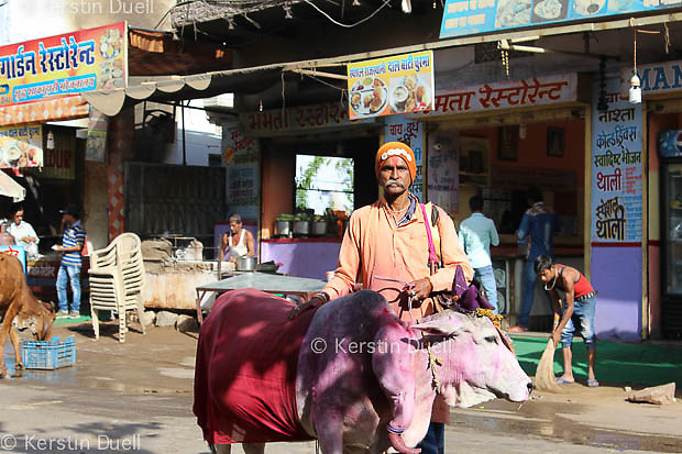one of the many holy men in Pushkar with a holy cow that has a 5th hoof and leg....