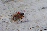 Birkenwanze, Kleine Birkenwanze, Kleidocerys resedae, Birch Catkin Bug, Bodenwanzen, Lygaeidae
