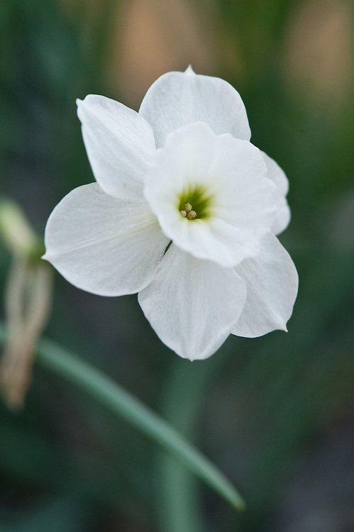 Narcissus rupicola subsp. watieri (syn. Narcissus watieri), glasshouse, late March. A pure white counterpart of N. rupicola from the High Atlas, Morocco.