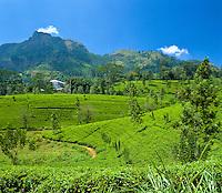 Sri Lanka, near Nuwara Eliya: Tea Plantation | Sri Lanka, bei Nuwara Eliya: Teeplantage
