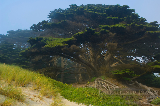 Cypress tree at Pfeiffer Beach, Big Sur Coast, Monterey County, California
