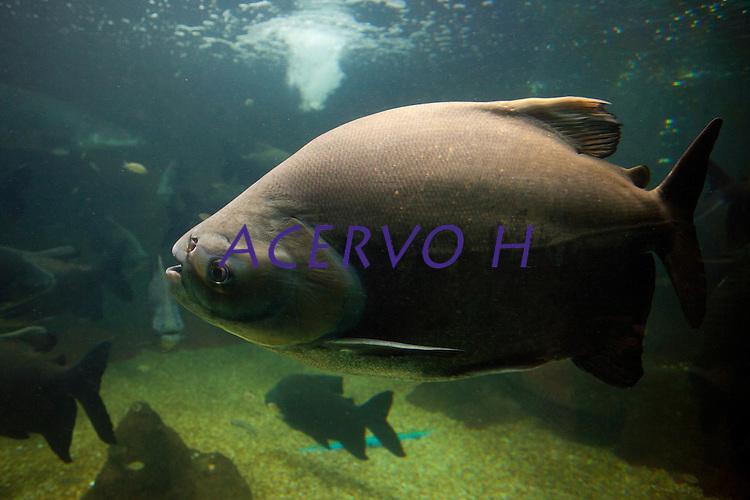 Tambaquis em aqu&aacute;rio.<br /> Tambaqui _ (Colossoma macropomum), tamb&eacute;m chamado de Pacu Vermelho, &eacute; um peixe de escamas com corpo romboidal, nadadeira adiposa curta com raios na extremidade; dentes molariformes e rastros branquiais longos e numerosos. Boca prognata pequena e forte com dentes molariformes. A colora&ccedil;&atilde;o geralmente &eacute; parda na metade superior e preta na metade inferior do corpo, mas pode variar para mais clara ou mais escura dependendo da cor da &aacute;gua. Os alevinos s&atilde;o cinza claro com manchas escuras espalhadas na metade superior do corpo. O tambaqui alcan&ccedil;a cerca de 110&nbsp;cm de comprimento total. Antigamente eram capturados exemplares com at&eacute; 45 quilos. Hoje, por causa da sobre-pesca, praticamente n&atilde;o existem indiv&iacute;duos desse porte. Peixe comum encontrado na bacia amaz&ocirc;nica e do qual se aproveitam a saboros&iacute;ssima carne e o &oacute;leo.<br /> &Eacute; uma esp&eacute;cie que realiza migra&ccedil;&otilde;es reprodutivas, tr&oacute;ficas e de dispers&atilde;o. Durante a &eacute;poca de cheia entra na mata inundada, onde se alimenta de frutos ou sementes. Durante a seca, os indiv&iacute;duos jovens ficam nos lagos de v&aacute;rzea onde se alimentam de zoopl&acirc;ncton e os adultos migram para os rios de &aacute;guas barrentas para desovar. Na &eacute;poca de desova n&atilde;o se alimentam, vivendo da gordura que acumularam durante a &eacute;poca cheia.<br /> Fonte: <br /> Natal, Rio Grande do Norte, Brasil.<br /> Foto Paulo Santos.<br /> 12/2014
