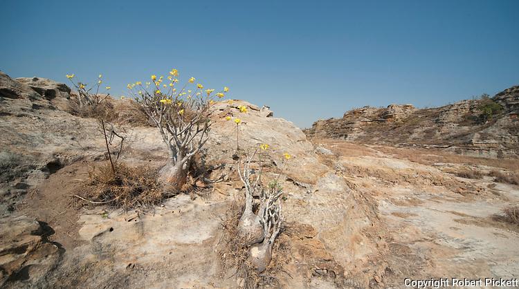 Elephant's Foot Plant, Pachypodium lameri, in flower, Isalo National Park, Madagascar, also showing sandstone landscape, canyon