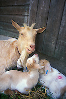 Goats, mother nanny with two kids, with ear identification tags. Longhaired beige and white farm animal goat against barn stable door, lying down in hay