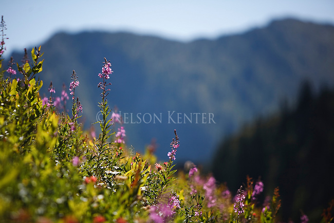 Fireweed and Indian Paintbrush on a steep hillside above Dalton Lake in the Great Burn area of western Montana