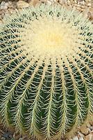 Golden Barrel Cactus Echinocactus grusonii