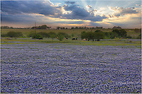 Evening light illuminates a large field of Texas bluebonnets in central Texas in the Spring of 2014.