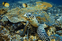 hawksbill sea turtle, Eretmochelys imbricata, Komodo-National-Park, World Heritage Site, Indonesia, Pacific Ocean,