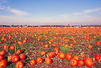 A Pumpkin Patch Field (Cucurbita pepo) at Harvest Time, in the Fraser Valley of Southwestern British Columbia, Canada