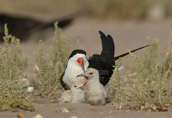 Black Skimmer (Rynchops niger), adult with young chicks fighting, Port Isabel, Laguna Madre, South Padre Island, Texas, USA