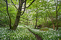 Wild Garlic / Ramsons (Allium ursinum) growing in deciduous woodland. Peak District National Park, Derbyshire, near Bonsall. May.