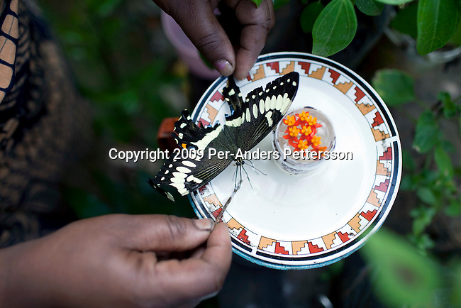 AMANI NATURE RESERVE, TANZANIA - NOVEMBER 13: Bertha Anderson feeds her butterflies on November 13, 2009 in Amani Nature Reserve, Tanzania. Locals have worked since 2004 to preserve this unique rainforest together with Tanzania Forest Conservation Group. The main purpose has been to preserve the rich biological life in the forest and to stop illegal logging and the cutting of trees by villagers for firewood. Many villagers has started income generating programs such as bee keeping, butterfly farms and different spices. Many women have especially been empowered by these projects such as Bertha Anderson. She also farm fish and bees. (Photo by Per-Anders Pettersson)..
