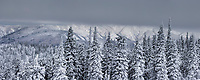Snow covered spruce trees, arctic Alaska.