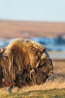 The long guard hair of the bull muskox blows in the arctic wind on the coastal plain, Alaska.