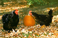 Black hens with a pumpkin