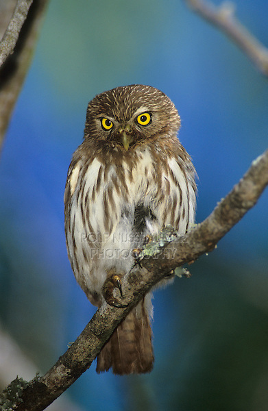Ferruginous Pygmy-Owl, Glaucidium brasilianum , adult, Willacy County, Rio Grande Valley, Texas, USA, June 2004